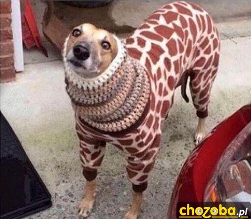 Żyrafa czy Lampart?