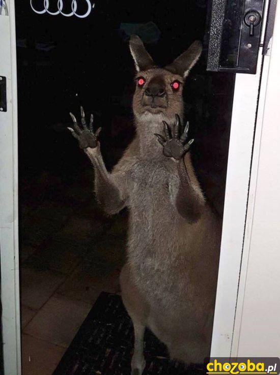 nawiedzony-kangur