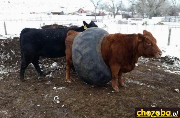 Krowa z oponą