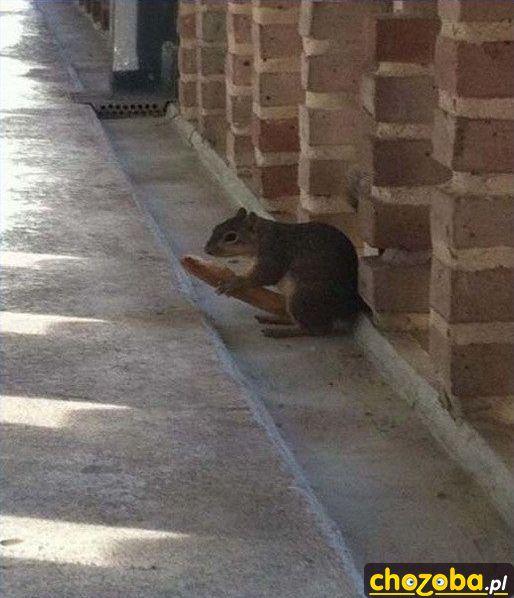 Wiewiórka ma dużego