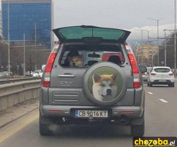 Pieseł w swoim samochodzie