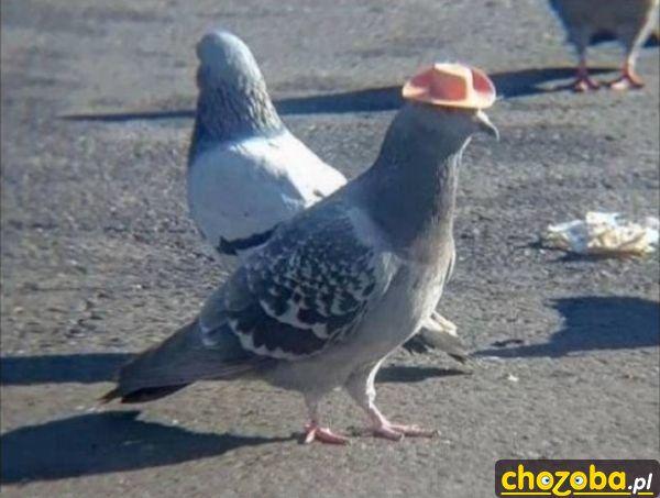 Gołąb w kapeluszu