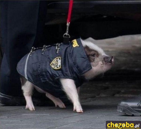 Policyjna świnka