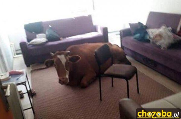krowa-w-domu