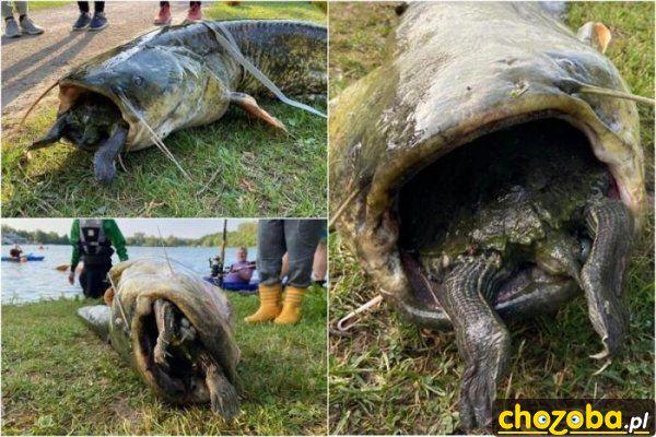 Ryba zjadła żółwia